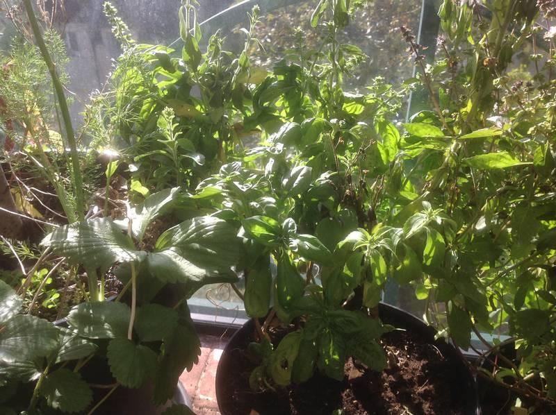 Basilic en pot poussant sous une table de culture