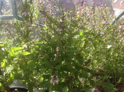 Basilic thaï en fleurs et basilic grand vert sur le balcon