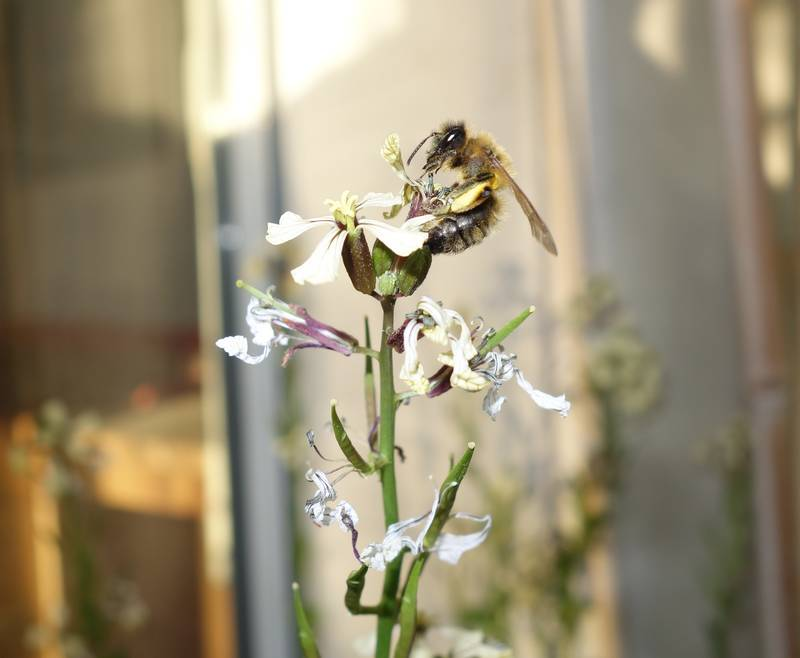 Abeille butinant une fleur de roquette mi-avril 2015