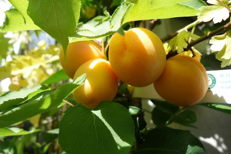 Abricots sur le balcon, un délice !