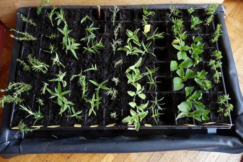 De droite à gauche : sarriette, stévia, sauge ananas et romarin officinal, romarin albiflorus, cyste rose, armoise camphrée, cyste blanc, hysope, verveine citronnelle, romarin officinal, thym officinal
