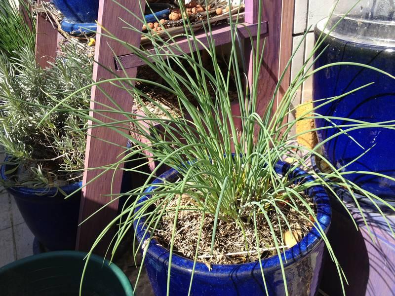 Ciboulette en pot sur le balcon. Elle repousse très bien d'année en année sans avoir besoin de changer la terre et supporte des périodes sans arrosage.