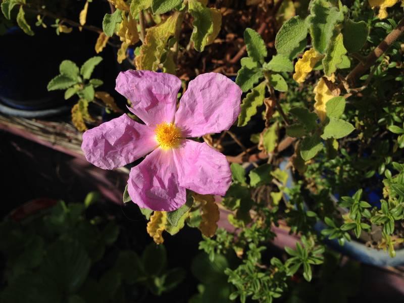 La ciste a une odeur unique qui me rappelle la Sardaigne : j'ai récolté des graines sur place et je les ai ensuite fait germer, la plante s'est très bien acclimatée et lorsque le soleil brille, on se croirait en là-bas !