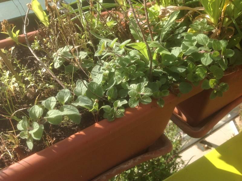Origan dans une jardinière. l'origan se ressème très facilement, si on le laisse monter à graines, il se ressème dans d'autres pots du balcon sans aucune intervention perticulière