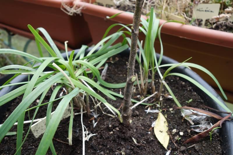 Porte-greffe Sainte-Lucie en pot avec du ciboulail (à droite on voit des graines de Trachelospermum jasminorum qui proviennent des jasmins du balcon)