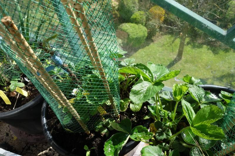 Poirier conférence greffé. Le greffon est protégé par des tuteurs en bambou et un grillage plastique. Le pot contient aussi des fraisiers belle des jardins.