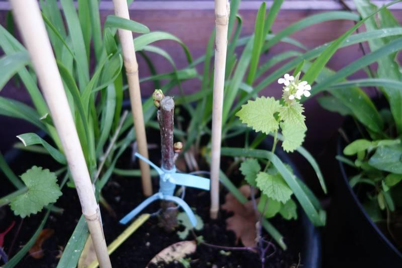 Au bout d'un mois la greffe semble avoir pris. J'ai aussi rajouté dans le pot de l'alliaire (ici en fleurs), une plante sauvage comestible au léger goût d'ail.