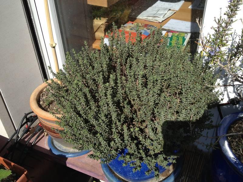 Thym en pot sur les étagères à aromatiques. Le thym résiste très bien au froid et à une certaine sécheresse.
