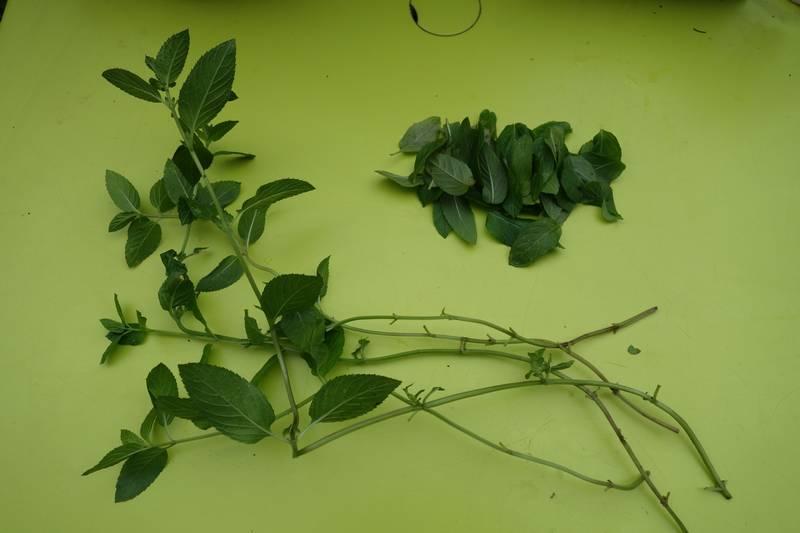 Tiges de menthe orange sans les feuilles du bas