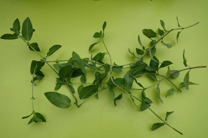 Tiges de menthe à odeur d'orange de longueur 20 cm environ