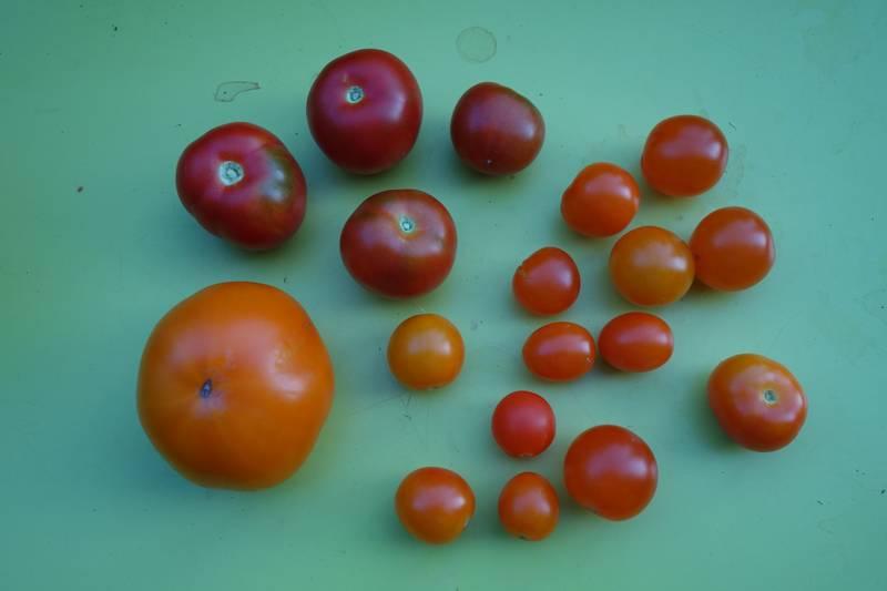Tomates bloody butcher (en haut à gauche), caro-rich (en bas à gauche) et gold nugget (à droite)
