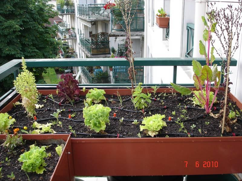 """Laitues """"lollo rossa"""" et blettes à cardes rouges montées à graine, basilic grand vert"""