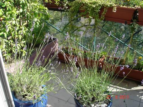 Lavande sur le balcon en 2011. L'odeur de la lavande parfumait agréablement le salon au printemps et en été.