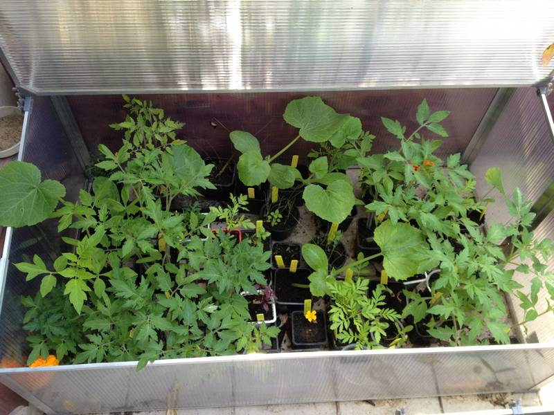 Plants de tomates, de courgettes, de cosmos etc.