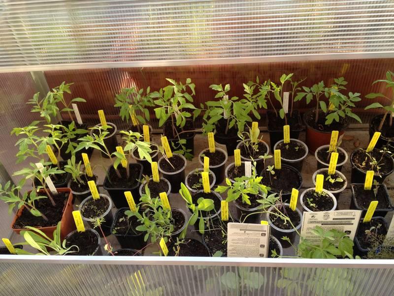 Mini-serre pliable avec des plants de tomates, de lupin,
