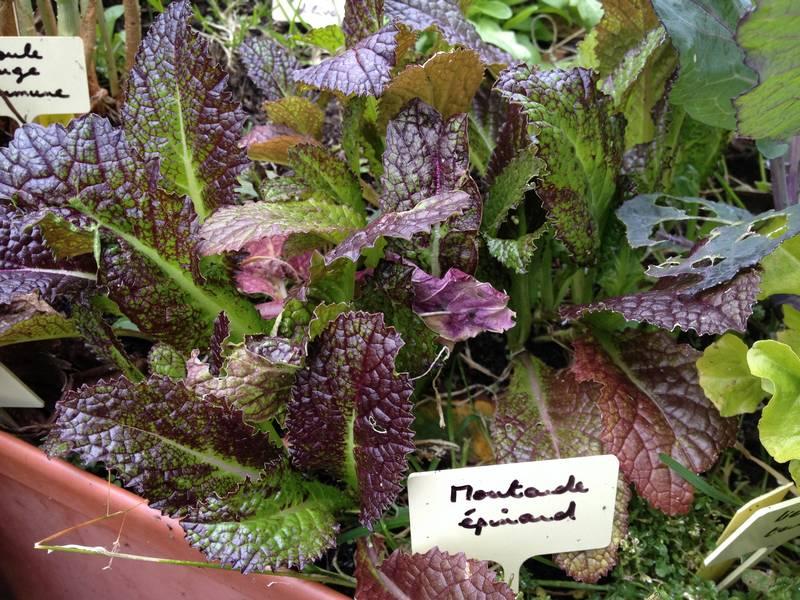 Moutarde épinard obtenue à partir de semis au printemps 2015 - excellent en mesclun !