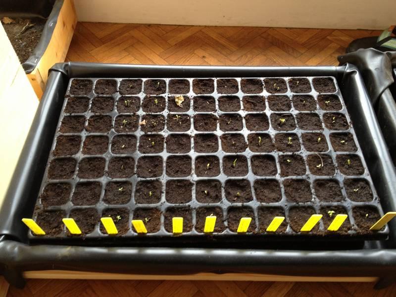 Plaque à semis pour obtenir plusieurs plants en même temps (il y a une seule variété par rangée)