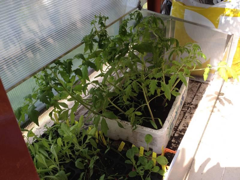Plants de tomate dans un bac en polystyrène (on peut en récupérer chez un poissonnier)