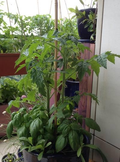 Tomate et basilic grand vert en pot