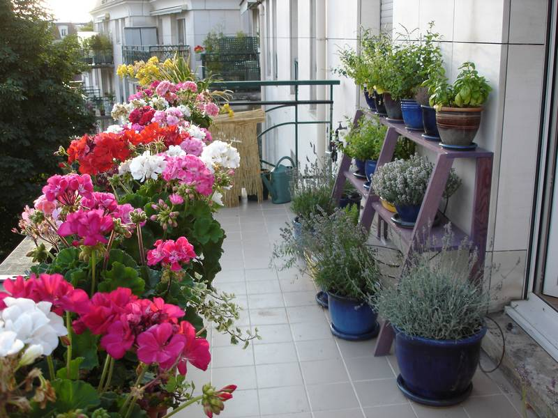 geraniums et aromatiques