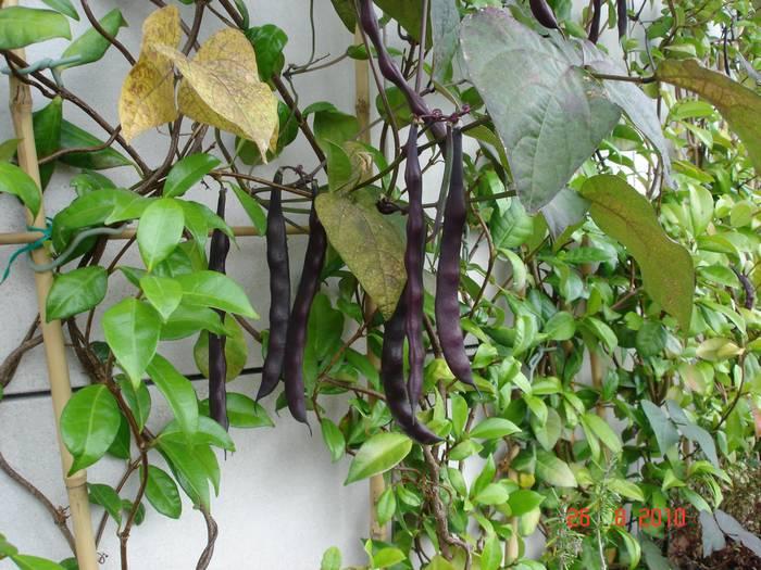 Haricots à rame pélandron (violets)