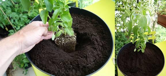 Mise en place du plant de stévia, on rajoute ensuite un peu de terreau et on tasse