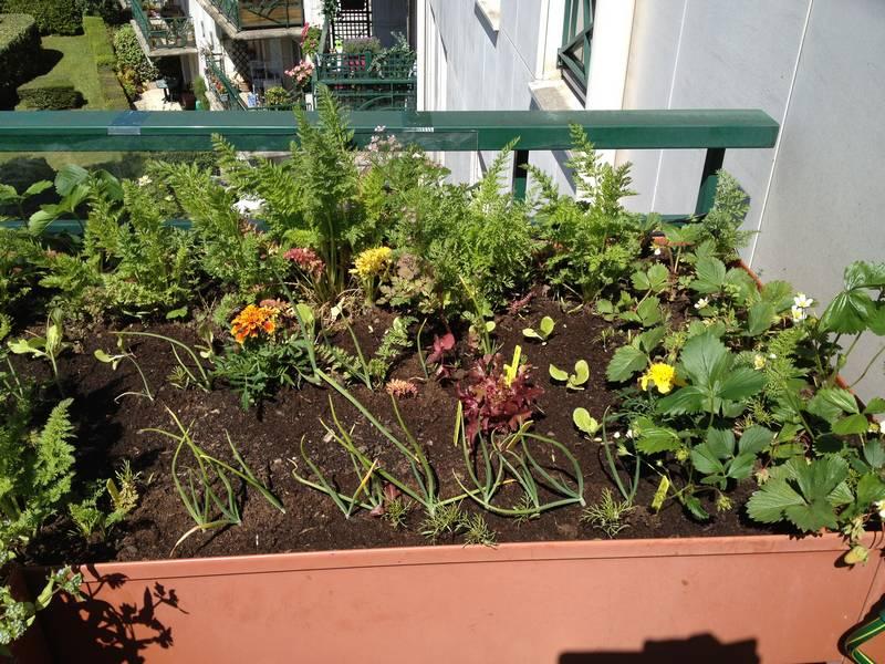 Repiquage de fraisiers, semis d'oignons et de laitues, les carottes n'ont pas été récoltées pour pouvoir servir de coupe-vent et de porte-graine
