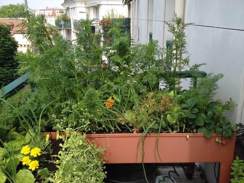 Les carottes sont montées à graine, on peut récolter les laitues et les oignons, au premier plan à gauche, la mâche est en fleurs, les graines seront récoltées un peu plus tard