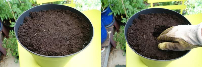 Une fois que le pot est rempli (le substrat est tassé légèrement), on fait un trou de la taille de la motte