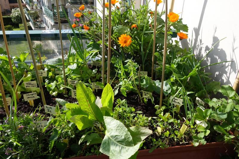 Les soucis sont en fleurs, sur le devant on aperçoit l'épinard perpétuel, à droite l'amarante-épinard