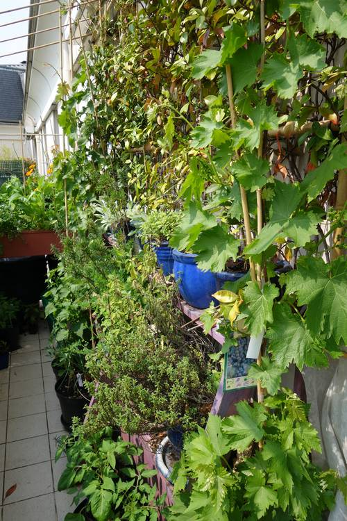 Devant la vigne Muscat de Hambourg