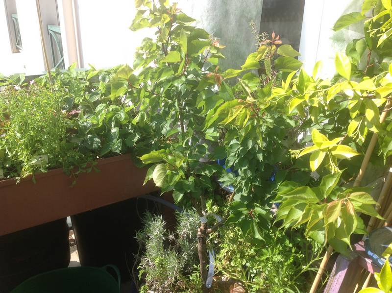 Abricotier nain en pot : la floraison a été magnifique et j'ai pu récolter sept abricots magnifiques (un coup de froid a fait tomber de nombreuses fleurs).