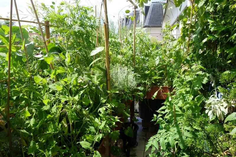 Le 15 juin, une bonne partie des plantes sont montées à graines et j'ai pu récolter les semences.