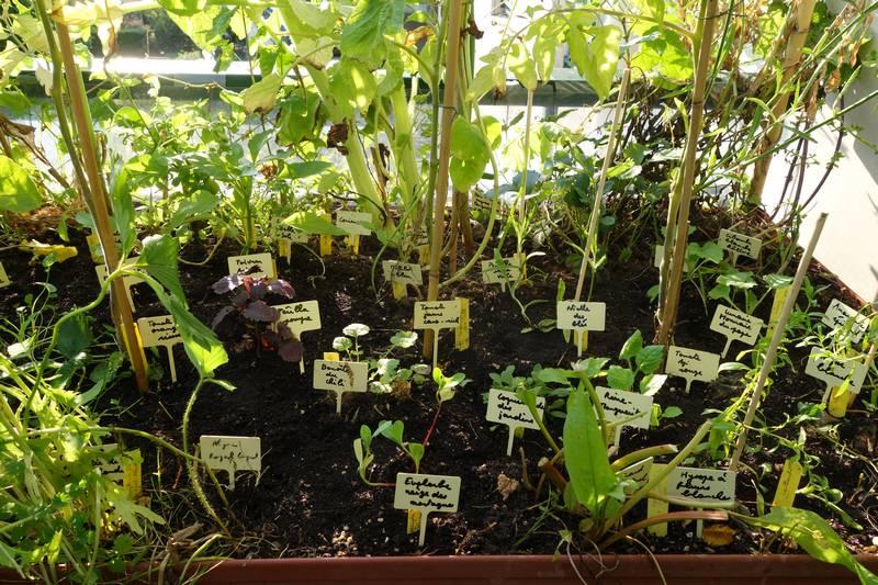 Repiquage de plants avec les étiquettes (pour s'y retrouver ! on oublie facilement ce qui a été planté, surtout si l'on ne connaît pas la plante et si on part en vacances ...)
