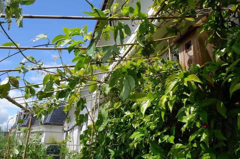 Passiflore maracujà sur la pergola et nichoir à mésanges. Au fonds à droite on voit la vigne chasselas doré de Fontainebleau et à droite le jasmin.