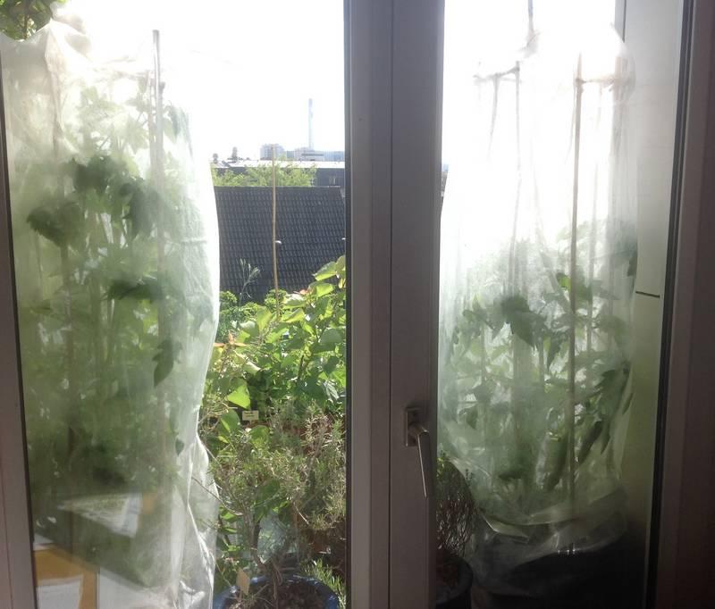 Tomates avec un voile de protection contre le froid le 16 mai 2014. L'utilisation du voile permet de gagner un à deux mois sur la récolte des tomates.
