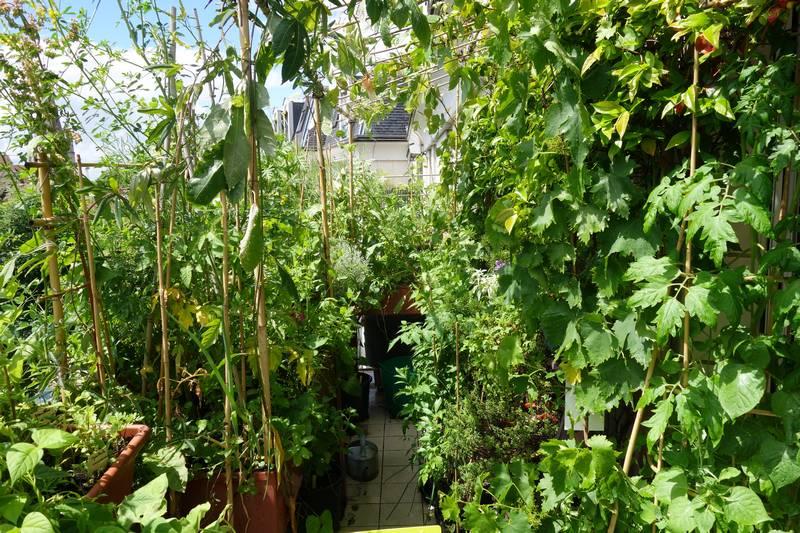 A droite on aperçoit le pied de tomates blanc-rose rayées, les pois de senteur colorama et la vigne muscat de Hambourg. et la vigne