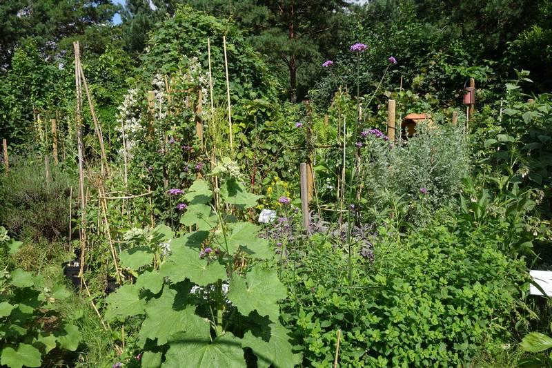 Derrière la rose trémière au premier plan il y a un plant de tomate Dufresne (avec la cage à, tomates), juste derrière un pommier chailleux drap d'or (palmette verrier).