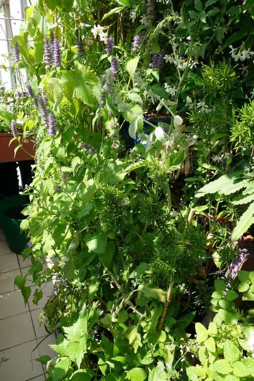 L'agastache rugosa se trouve au fonds avec ses fleurs violettes