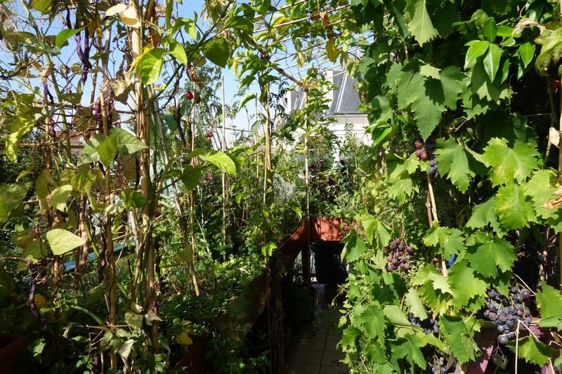 A droite, le raisin Muscat de Hambourg a très bien poussé (dans un petit pot).