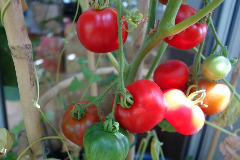 ce sont des tomates jaunes caro-rich dont j'ai ressemé les graines mais il y a eu des croisements et elles ne sont plus très jaunes !